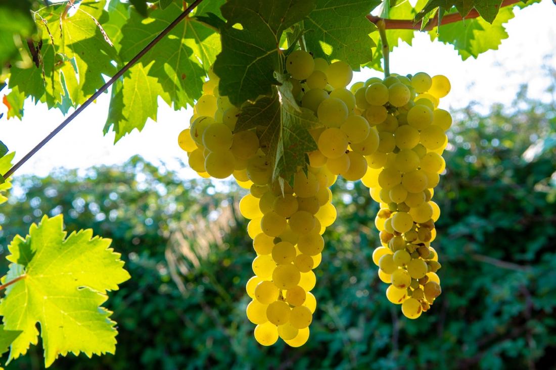 Vinho Branco: Mitos, Curiosidades e Factos 1